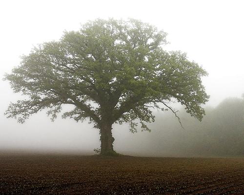 mustard-tree_mist